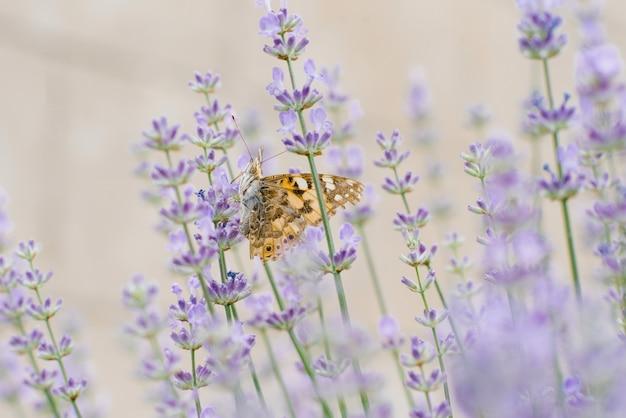 Hermosa mariposa bebe néctar de una flor de lavanda en un campo de lavanda