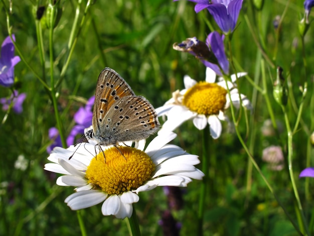 Hermosa mariposa en una flor de manzanilla