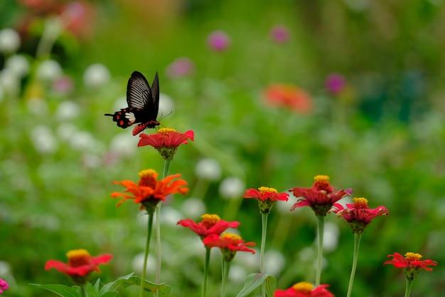 La hermosa mariposa en las flores en el jardín.