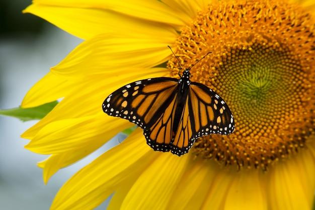 Hermosa mariposa monarca y girasol