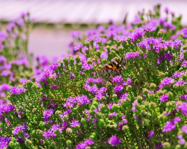 Hermosa mariposa sentada en un arbusto con pequeñas flores de color lila