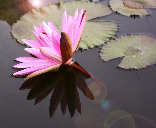 Hermosa nenúfar o flor de loto