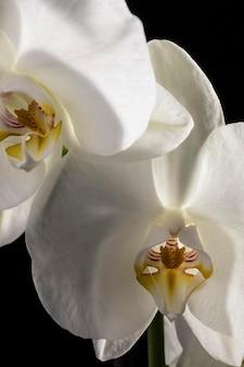 Hermosa orquídea blanca macro