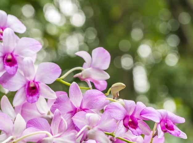 Hermosa orquídea púrpura, dendrobium