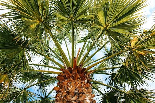 Hermosa palmera de coco tropical en el cielo azul