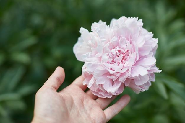 Hermosa peonía rosa y mano femenina
