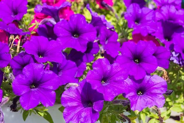 Hermosa petunia púrpura