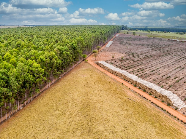 Hermosa plantación de eucaliptos y troncos de eucalipto cortados al suelo.