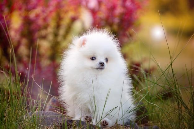 Hermosa pomerania blanca
