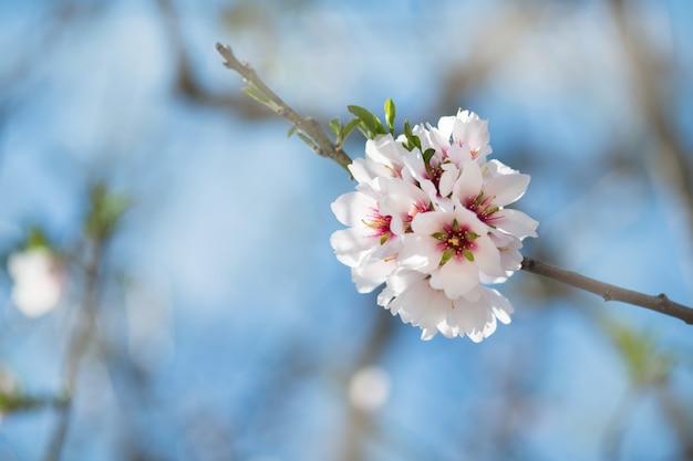 Hermosa primavera floral con florecientes ramas de almendras, bokeh, borrosa y textura, copyspace