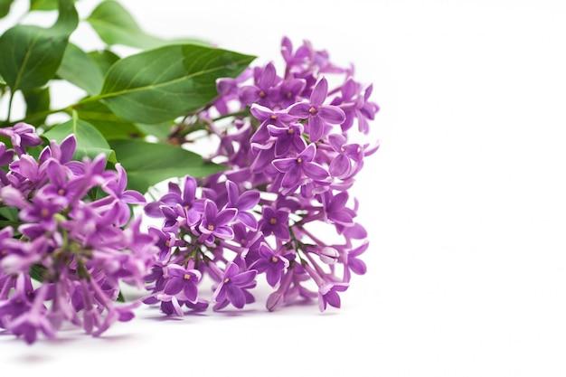 Hermosa rama lila aislada sobre fondo blanco primavera