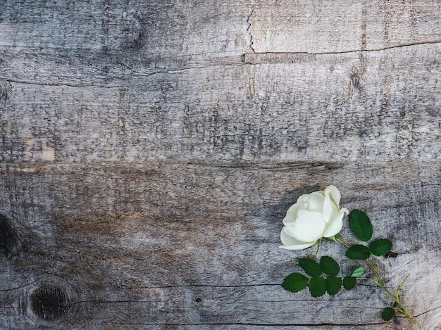 Hermosa rama de rosa mosqueta con flores blancas