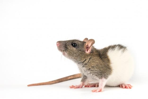 Hermosa rata color blanco-gris