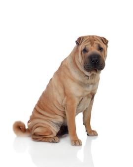 Hermosa raza de perro shar pei