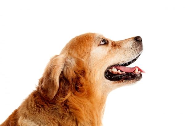 Hermosa raza de perro golden retriever