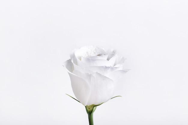 Hermosa rosa blanca aislada