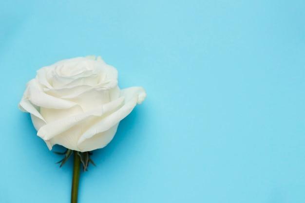 Hermosa rosa blanca con espacio de copia