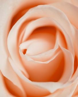 Hermosa rosa closeup