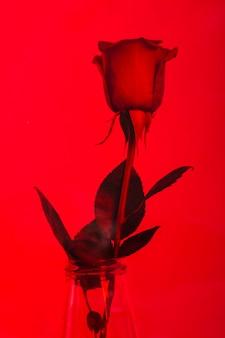Hermosa rosa en una pared roja