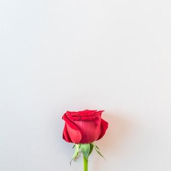 Hermosa rosa roja fresca