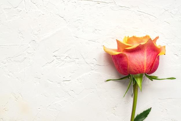 Hermosa rosa rosa sobre fondo blanco de hormigón. composición floral, vista superior, endecha plana