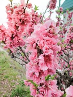 Hermosa rosa sakura llena de flores en la temporada, osaka, japón