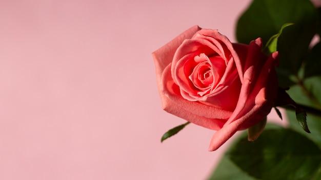 Hermosa rosa sobre un fondo rosa