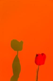 Hermosa rosa y su sombra sobre un fondo naranja.