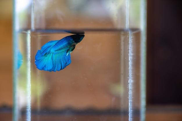 Hermosa sombra de peces betta azules que nadan en una botella de vidrio transparente con ba borrosa
