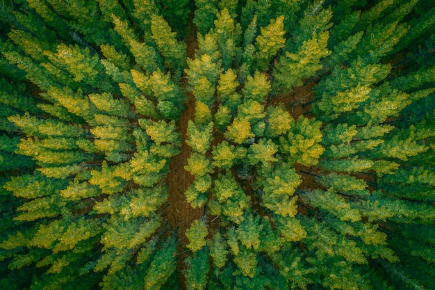 Hermosa vista aérea de arriba abajo de las copas de los pinos al atardecer