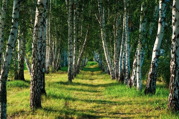 Hermosa vista del bosque de abedules en verano.