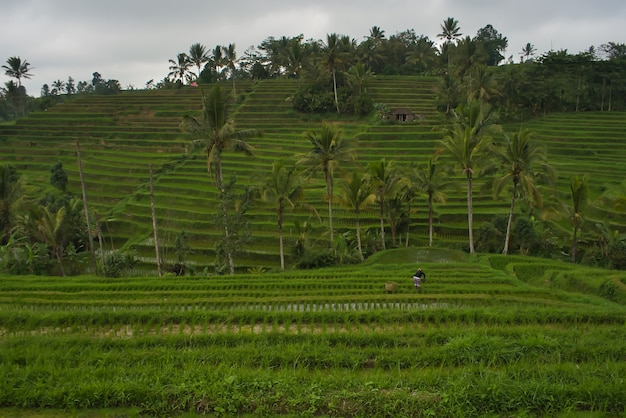 Hermosa vista del campo de arroz en bali, indonesia
