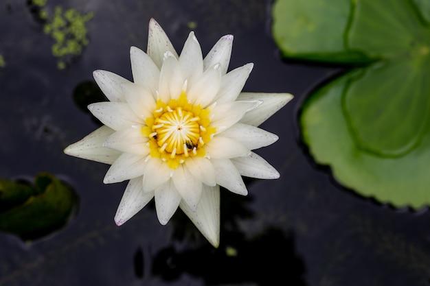 Hermosa vista de loto único en un agua con hojas-vista superior
