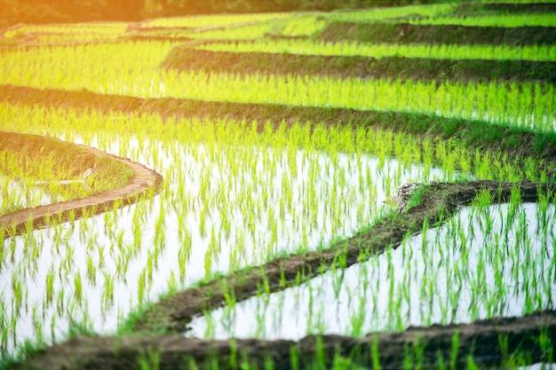 Hermosa vista del paisaje de los campos de arroz