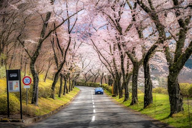 Hermosa vista del túnel de los cerezos en flor durante la temporada de primavera en abril a lo largo de ambos lados de la carretera de la prefectura en la prefectura de shizuoka, japón.