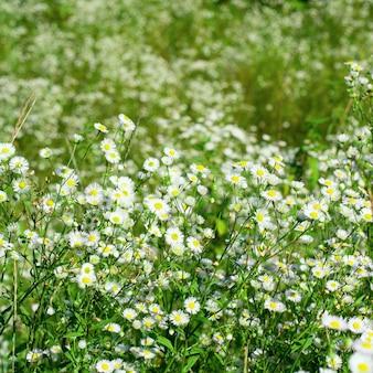 Hermosas chamomiles en un prado de verano