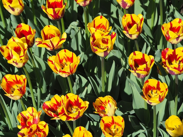 Hermosas y fascinantes plantas con flores de tulipa sprengeri en el medio del campo