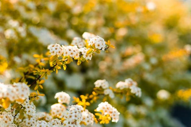 Hermosas florecillas pequeñas flores blancas en racimos suntuosos
