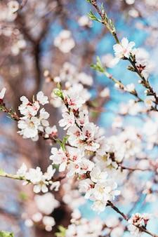 Hermosas flores de almendro en el árbol con cielo azul detrás en primavera