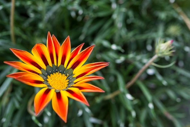Hermosas flores amarillas y anaranjadas de gazania en flor