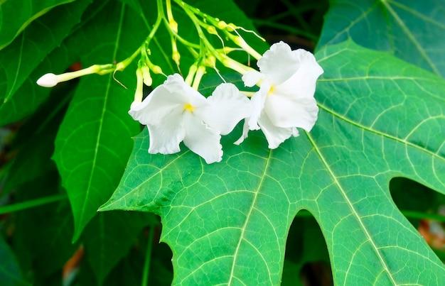 Hermosas flores blancas de jazmín del cabo en las hojas