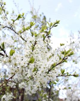 Hermosas flores blancas de manzano jardín