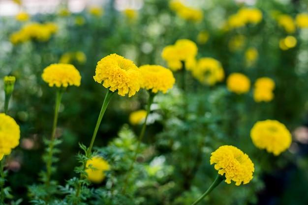 Hermosas flores de caléndula en el jardín para el rey de tailandia