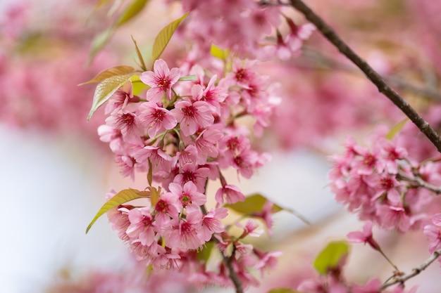Hermosas flores de cerezo rosa (sakura tailandés) que florece en la temporada de invierno