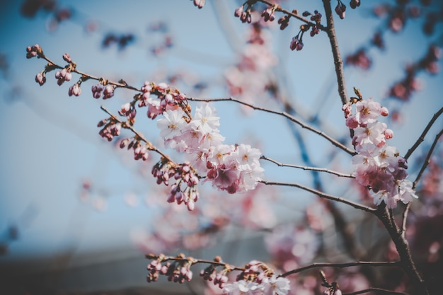 Hermosas flores de cerezo rosa