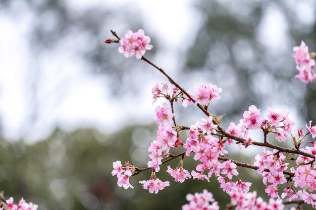 Hermosas flores de cerezo sakura florecen en primavera en el parque, espacio de copia, de cerca.