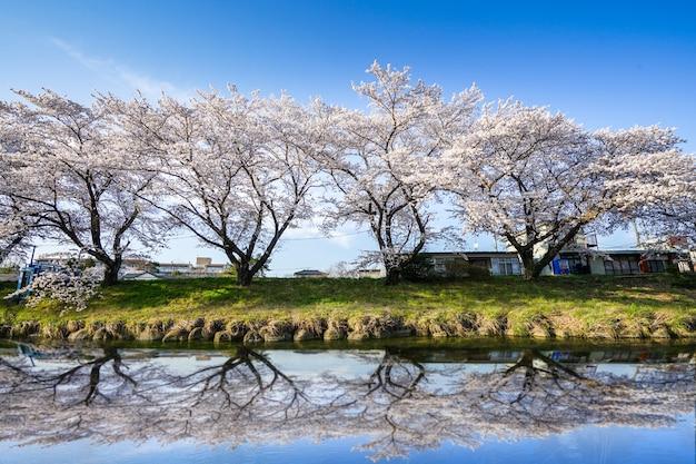 Hermosas flores de cerezo. sakura flores en japón. viajes primavera.
