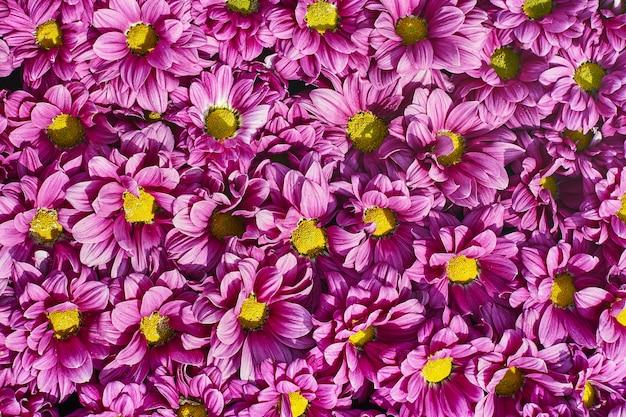 Hermosas flores de color rosa. flores de crisantemo vista superior
