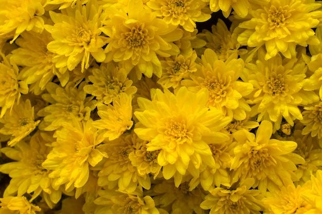 Hermosas flores de crisantemo amarillo brillante