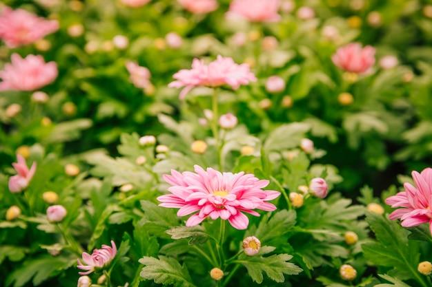 Hermosas flores de crisantemo rosa en el jardín